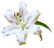 纯白的花 免版税库存照片