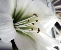 纯白的花 库存照片