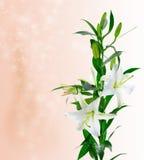 纯白美丽的花 免版税库存图片