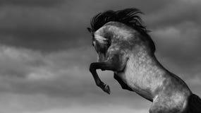 纯血统安达卢西亚的马后方 查找照片纵向姿势白色的美好的黑色深色的古典女孩魅力您 库存照片