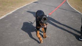 纯血统小狗Rottweiler走与一个人在公园 影视素材