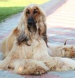 纯血统狗品种阿富汗猎犬的纵向 库存图片