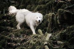 纯血统白色巡逻狗Maremma或阿布鲁佐 库存图片