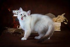 纯血统美丽的内娃化妆舞会猫,在棕色背景的小猫 磨咖啡器和箱子有干燥花的  库存图片