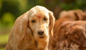 纯血统金毛猎犬狗看起来懒惰在公园 免版税库存图片