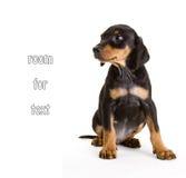 纯血统黑和棕褐色德国人短毛猎犬 免版税库存照片