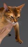 纯血统埃塞俄比亚年轻猫画象 免版税图库摄影