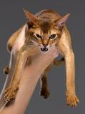 纯血统埃塞俄比亚年轻猫画象 免版税库存照片