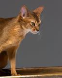 纯血统埃塞俄比亚年轻猫画象 免版税库存图片