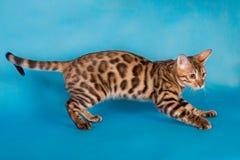 纯血统孟加拉猫 库存图片
