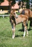 纯血统小马在牧场地 免版税库存图片