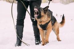 纯血统德国牧羊犬成人狗或阿尔萨斯狼狗训练  图库摄影
