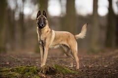 纯血统比利时人Malinois狗 免版税库存图片
