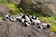 纯血统英国猎犬小狗 免版税图库摄影