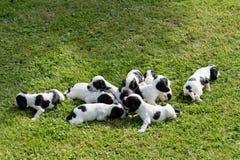 纯血统英国猎犬小狗 库存图片