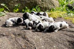 纯血统英国猎犬小狗 免版税库存图片