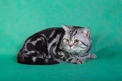 纯血统英国猫 免版税库存图片
