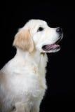 纯血统金毛猎犬小狗小狗在黑背景的 免版税图库摄影