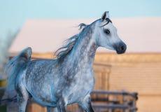 纯血统阿拉伯品种灰色典雅的公马  库存照片