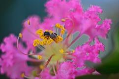 绉纱花和蜂 免版税图库摄影