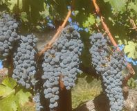 纳帕谷加伯奈葡萄酒 库存照片