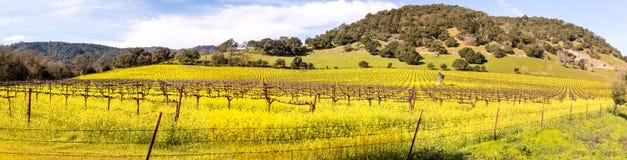 纳帕谷葡萄园和芥末在全景的春天 图库摄影