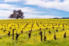 纳帕谷葡萄园和芥末在春天 库存照片