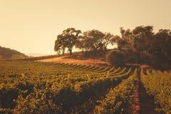 纳帕谷,加利福尼亚滚动的葡萄园环境美化 库存照片