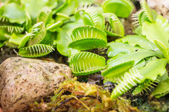 维纳斯捕蝇器(肉食植物) 库存照片