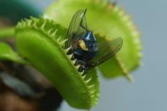 维纳斯捕蝇器 库存照片