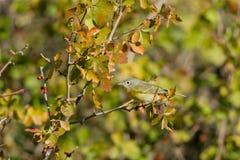 纳稀威鸣鸟, Vermivora ruficapilla 免版税库存照片