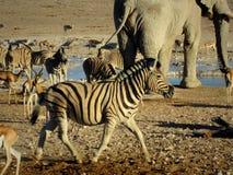 纳米比亚、Etosha平底锅、大象和其他动物饮用水与斑马在前景 库存图片