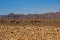 纳米比亚和羚羊赛跑离开的干燥橙色风景  免版税库存照片