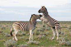 纳米比亚抱怨二斑马 库存图片
