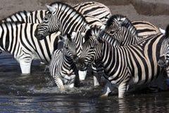 纳米比亚斑马 免版税图库摄影