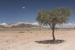 纳米比亚沙漠-偏僻的树,非洲 免版税库存图片
