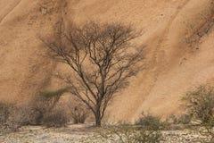 纳米比亚沙漠-偏僻的树,非洲 库存照片