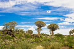 纳米比亚颤抖结构树 库存照片