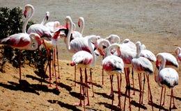 纳米比亚,鲸湾港,桃红色火鸟 免版税库存图片