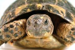 纵向乌龟 免版税库存图片
