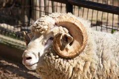 纵向公羊 库存图片