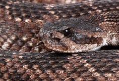 纵向响尾蛇 免版税库存图片