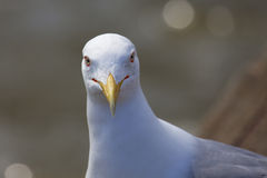 纵向海鸥 免版税库存图片