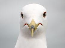 纵向海鸥 免版税库存照片