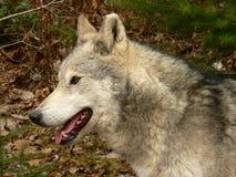 纵向狼 免版税库存照片