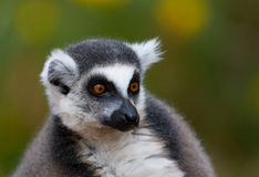 纵向的环纹尾的狐猴关闭 免版税库存照片