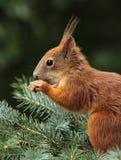 纵向红松鼠 免版税库存照片