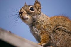 纵向红松鼠 免版税图库摄影