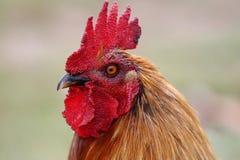 纵向红色雄鸡 库存照片