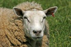 纵向绵羊 库存图片